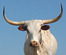 Longhorn Heifers for sale
